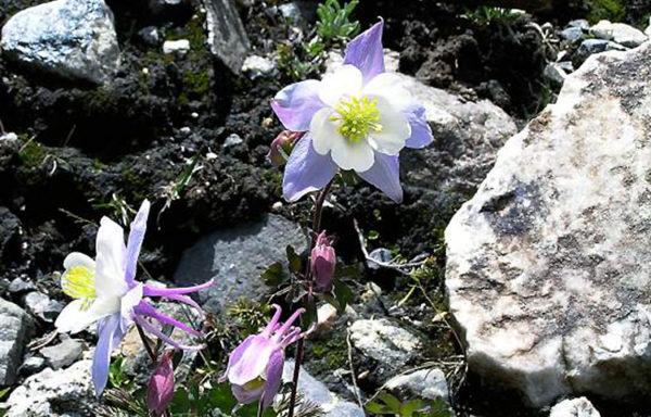 Colorado Wildflower Hiking Guide